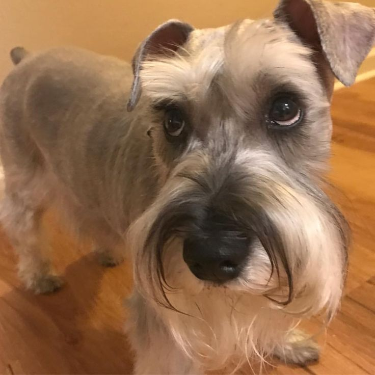Is a mini schnauzer right for me