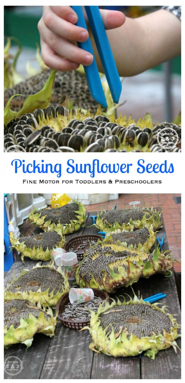 Tweezing sunflower seeds is such a fun fine motor activity for toddlers and preschoolers! - Teaching 2 and 3 Year Olds