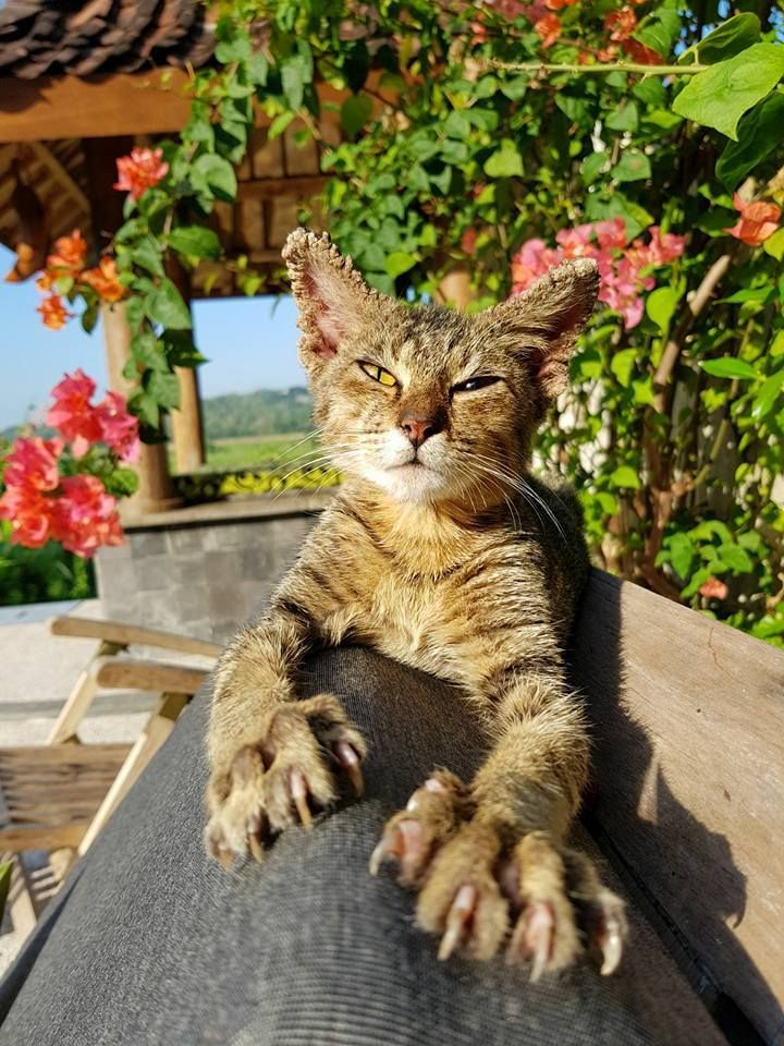 """Yogyakarta, Indonesia. This cat made himself at home on the sun loungers and wouldn't leave our sides. We named him Satay, took him to the local vet for treatment and vaccinations, and convinced the hotel owner to adopt him and make him their """"hotel cat"""". He is now a fixture of the hotel Instagram feed. A local rescue organisation neutered him to ensure he wouldn't make unwanted stray mini-Satay's. If you ever spot any sick strays, take action if you can. Help a kitty in need."""
