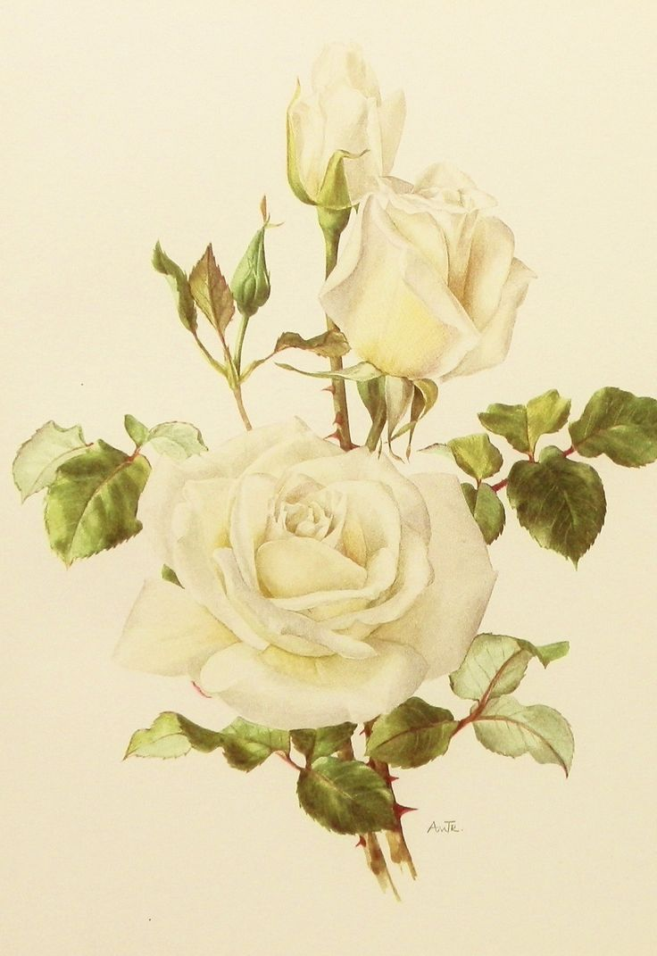White Rose Flower Print Botanical Illustration