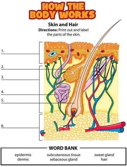 65+ ideas skin anatomy diagram | Human body lesson, Human ...