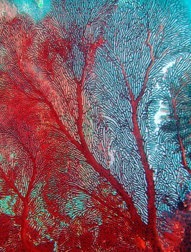 https://flic.kr/p/4TxuFB   Red Coral Seafan   Digital image Red Coral in Fiji taken by Jill Ehring