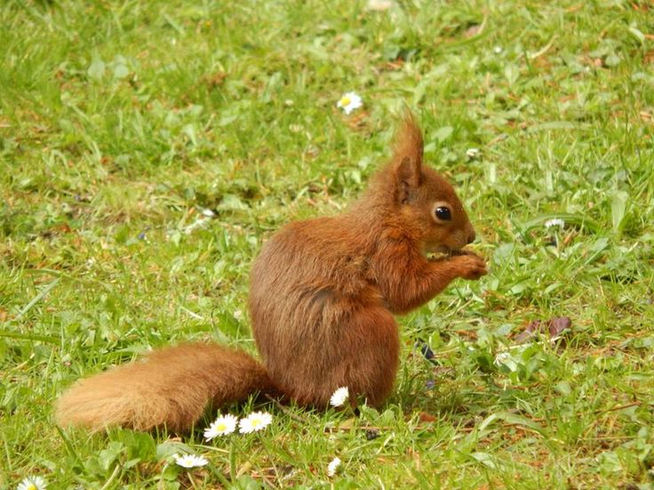 A red squirrel on Robin Hill, Newport, Isle Of Wight - Matt Whitham