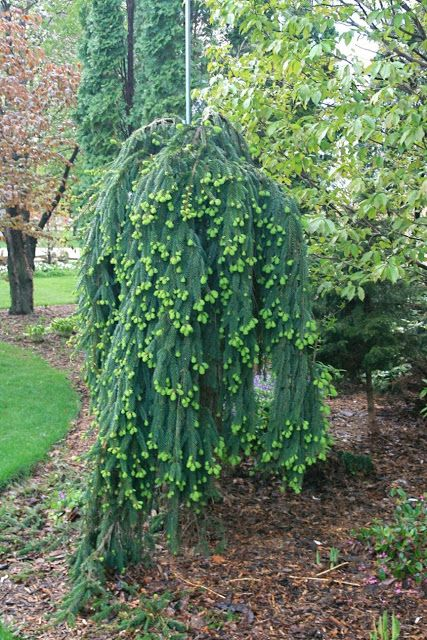 Picea abies 'Pendula' or weeping Norway spruce
