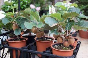 Выращиваем киви из обычного магазинного плода