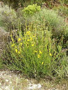 Spartium junceum, commonly known as Spanish broom[2] or weaver's broom, is a species of flowering plant in the family Fabaceae, native to the Mediterranean in southern Europe, southwest Asia and northwest Africa,[3] where it is found in sunny sites, usually on dry, sandy soils.