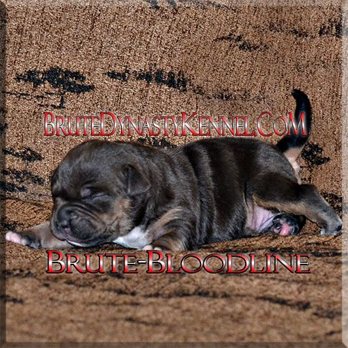 Tri color Brute Bloodline Bully Pitbull puppy- pocket and xl bullies & puppies for sale