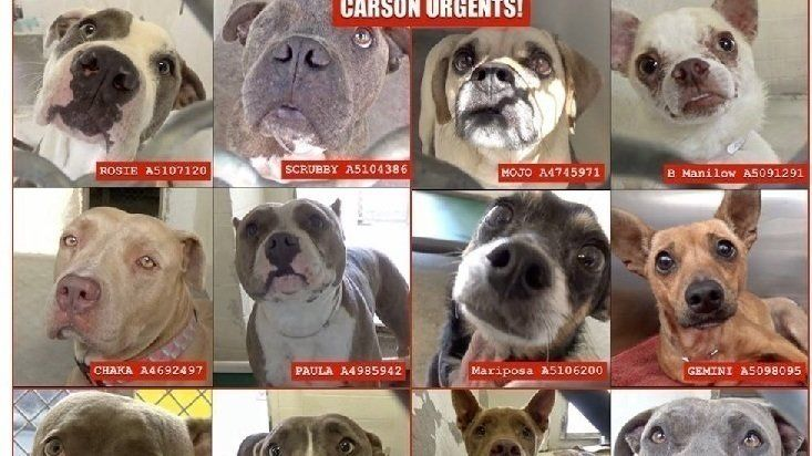 The Carson Animal Shelter in Gardena, CA has another NEW policy - any dog who has been in the shelter 60 days or longer is automatically listed as CODE RED and can be killed at ANY TIME with NO NOTICE. ALL OF THE DOGS LISTED IN THIS UPDATE ARE DEAD DOGS WALKING - ALL BUT ONE ARE ADOPTABLE NOW! SAVE A LIFE AND HELP THESE DOGS ESCAPE THEIR DEATH SENTENCE! THEIR ONLY CRIME.......BEING HOMELESS AND ABANDONED! Jacqueline #A5055901 – Scored a B on TT URGENT!! CAN GO HOME TODAY! ⬅️ #A5055901…