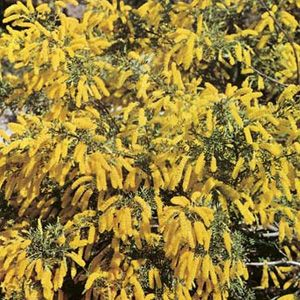 Australian Native Seeds Archives - Garden Express
