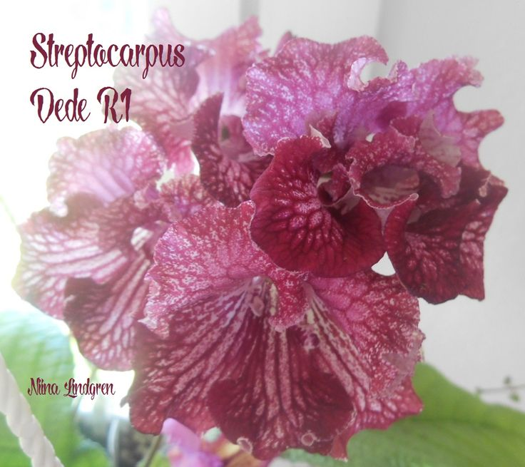 Streptocarpus Dede