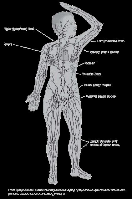 illustration showing the lymph system including the right (lymphatic) duct, left (thoracic) duct, heart, axillary lymph nodes, spleen, thoracic duct, pelvic lymph nodes, inguinal lymph nodes, lymph vessels and nodes of lower limbs
