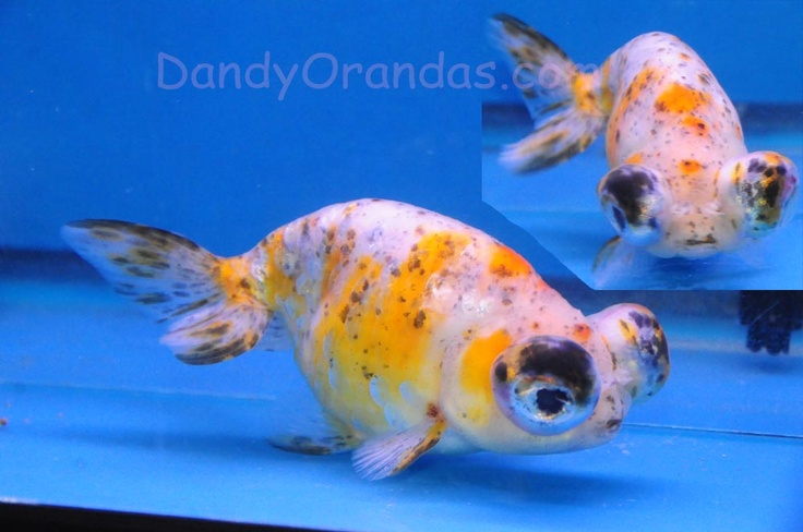 Name: Calico Telescope-eye Ranchu  Lot# 20  Description: Extremely rare fish in high quality and beautiful color. ONLY one of these hard to find tele ranchu available. Don't miss out on this rare fish.   Length: 5