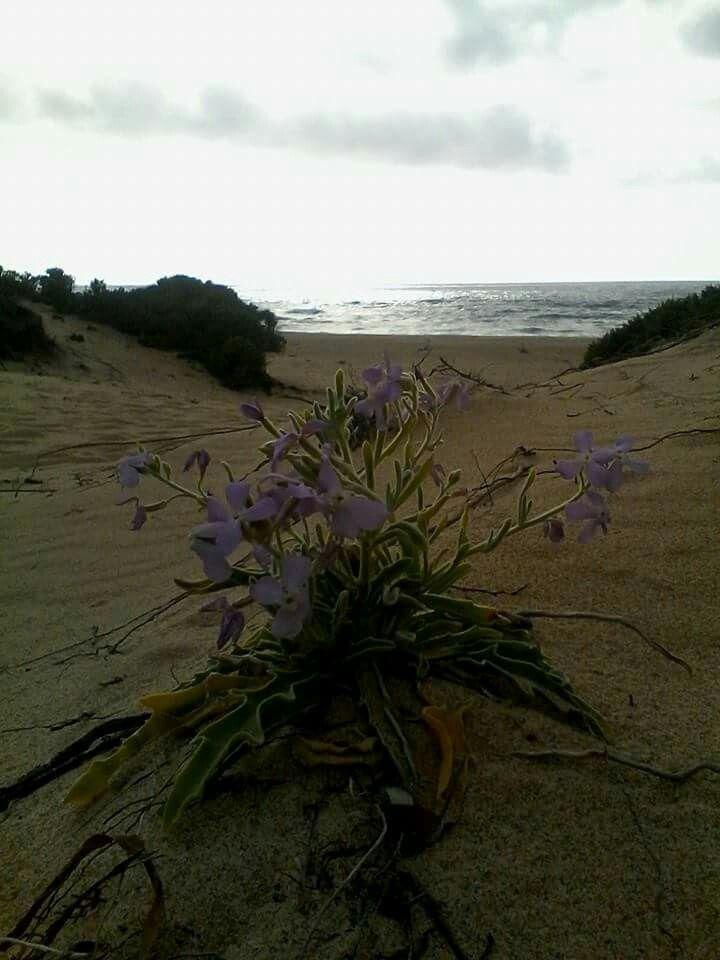 Fiore tipico delle dune di Piscinas