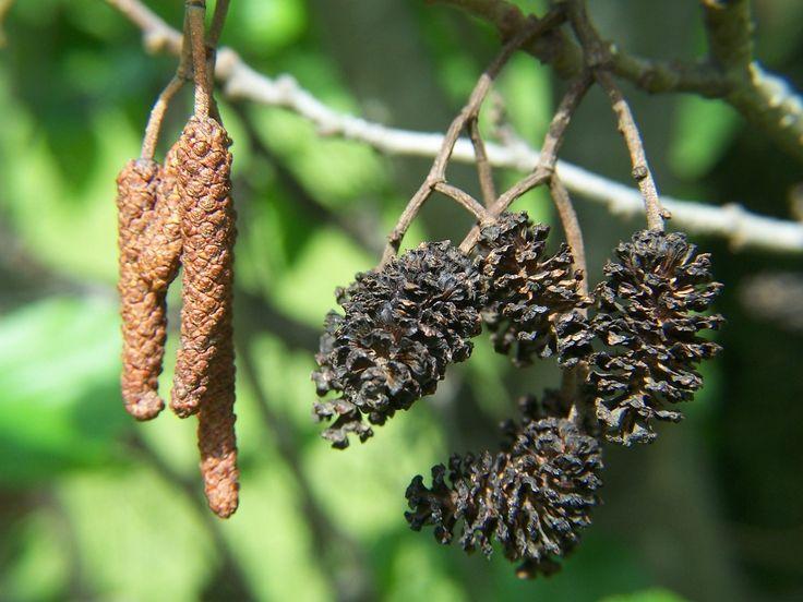 Alnus Glutinosa -- Zwarte els -- Inheems --  Groeit op natte gronden, aan beken en grachten -- wordt weinig toegepast in tuinen, maar als  je mezen, vinken, putters, groenlingen en sijzen naar je tuin wilt lokken, dan mag een zwarte els niet ontbreken.