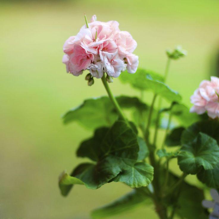 Kun pelargonit syksyllä tekevät tilaa kanerville, älä turhaan heitä pelargoneja menemään. Pelargoni on monivuotinen kasvi, joka kestää näillä...