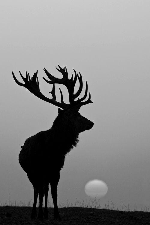 Cerf dans les plaines de Sologne - #brouillard #brame #nature #chambord