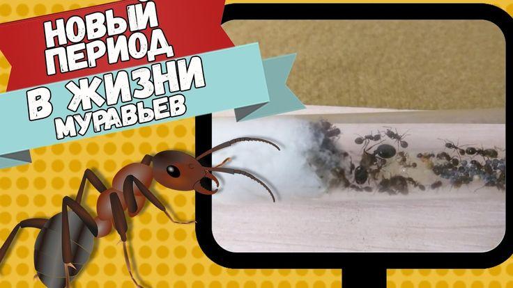 Из жизни мурашей. Месор Структор у вас дома.