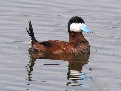 Ruddy Duck  © Cameron Rognan, Fort Irwin, California, September 2007, http://www.flickr.com/photos/cameronrognan/3752730895/