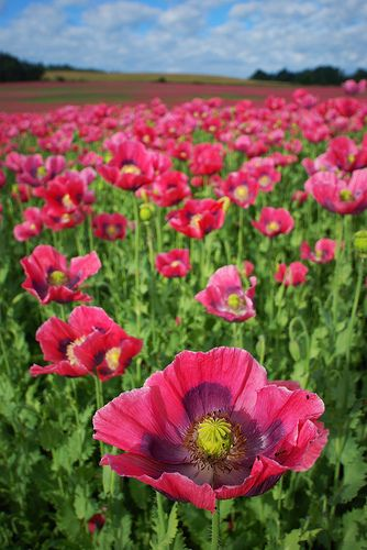 Pink poppy flower field