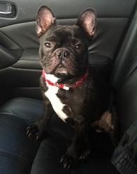 Dante is an adoptable French Bulldog Dog in Plantation, FL. Meet 'Dante' a 2 year old male French Bulldog. He is an owner surrender. Very sweet dog, full of energy and cant get enough love(because he ...