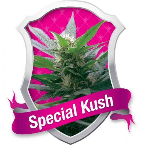 """Kush est aux variétés Indica ce que Haze est aux Sativa. Comme """"skunk"""", """"kush"""" est un mot qui peut être utilisé pour décrire toute une lignée de plantes de cannabis. Aujourd'hui, nous utilisons le mot """"Indica"""" pour décrire un type de plante qui se trouve dans la nature, indigène de la région indienne. Autrefois, toutes les plantes étaient appelées """"Cannabis Sativa"""", mais il y avait quelque chose de très dif…"""