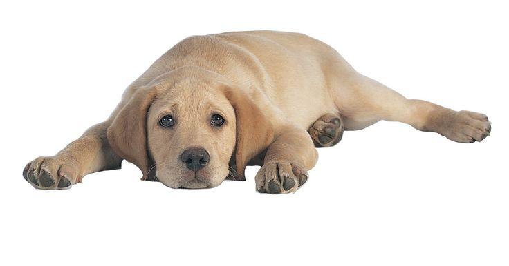 Remédios holísticos para obstrução intestinal em cães. As obstruções intestinais em cães geralmente ocorrem como resultado da ingestão de objetos estranhos por eles. Moedas, bolas, bolinhas de gude e pedras são rotineiramente retiradas do esôfago, estômago e intestino dos cachorros. A cirurgia endoscópica é o método padrão de desobstrução. Contudo, antes de optar pela cirurgia, você pode tentar ...