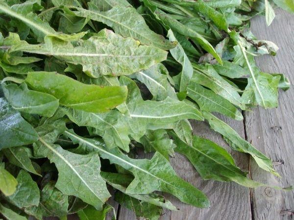 230 plantas medicinales más efectivas y sus usos Achicoria Planta