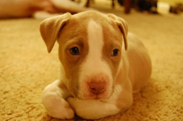 Cute Little Red Nose Pitbull   Babies   Pinterest