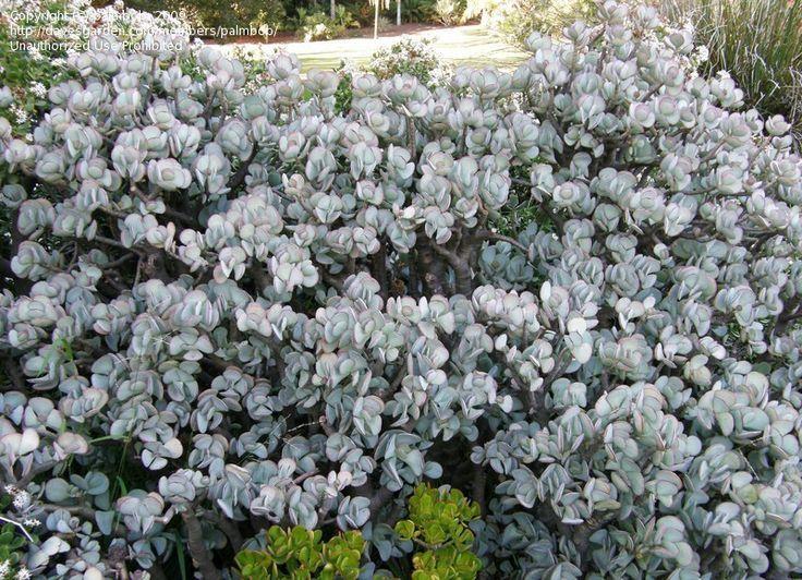 Silver Jade Silver Dollar Plant Beestebul Chinese Jade Money Plant Round-le – Money Plants