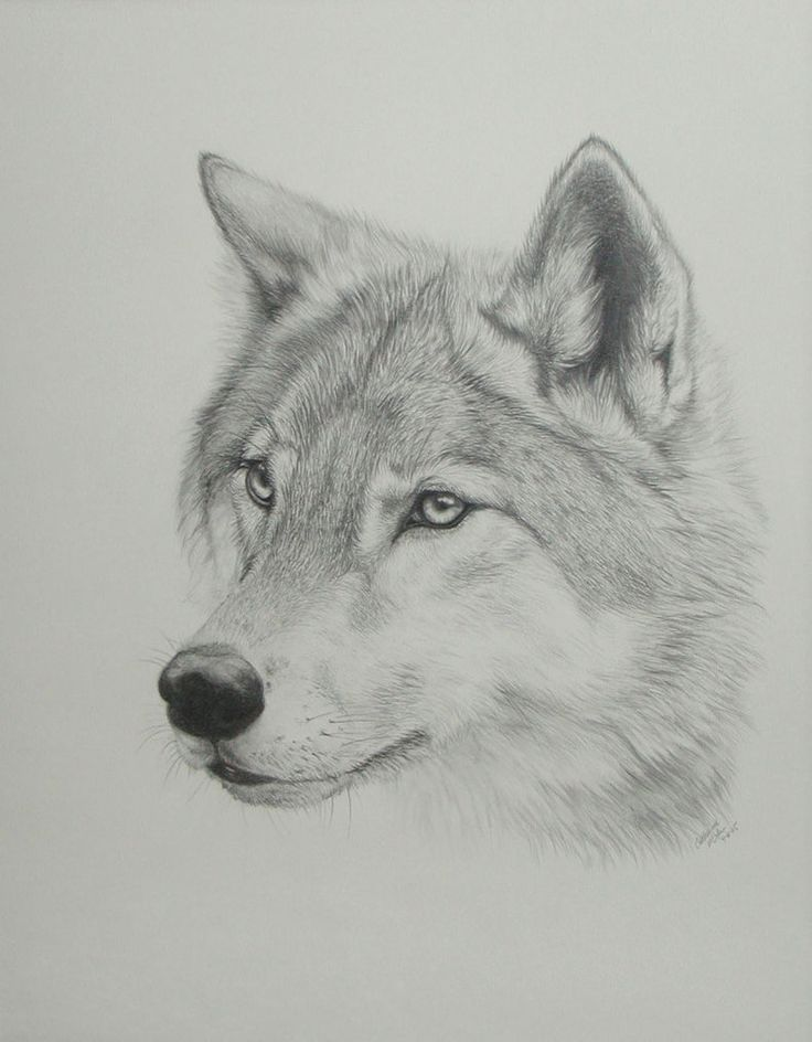 Gray Wolf Howling Drawing 17 Best images about T...