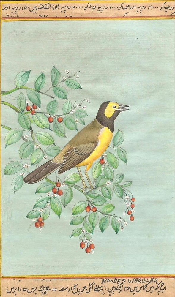 """Indian Miniature Bird Painting - Hooded Warbler This image was painted by famous Jaipur wild life miniature artist, Mr. Narendra Katara. Opaque watercolors on paper (4.5"""" X 8"""")."""