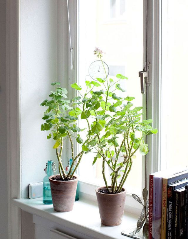 352 best windowsill plants images on pinterest houseplants indoor house plants and succulents. Black Bedroom Furniture Sets. Home Design Ideas