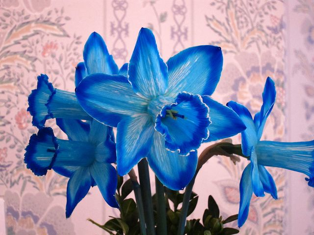 Blue Daffodils | Blue Daffodil - Mt Hoodwinked | Flickr - Photo Sharing!  March birth flower