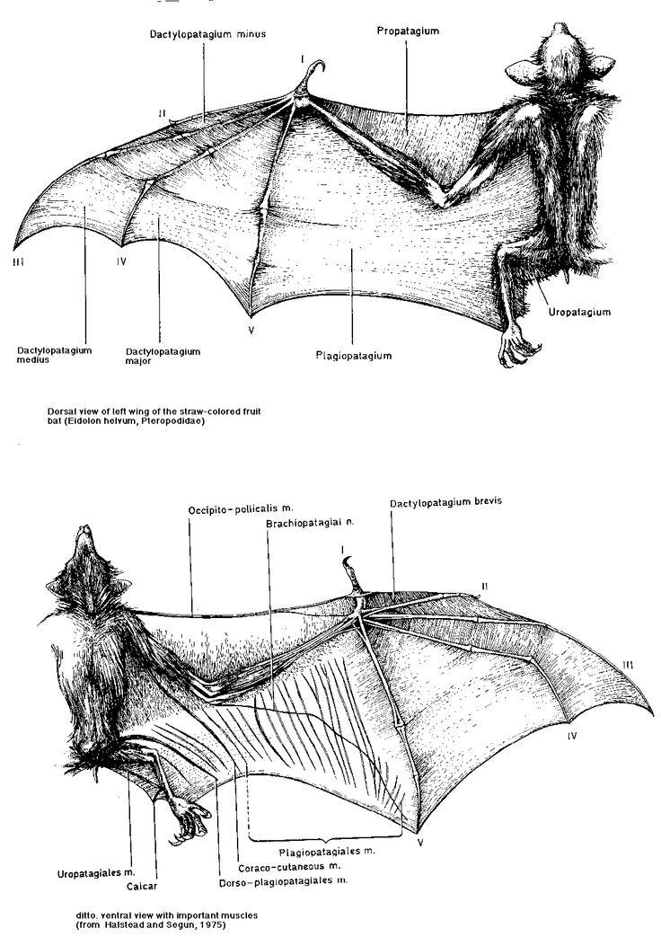 14 best bats images on pinterest bats anatomy and. Black Bedroom Furniture Sets. Home Design Ideas