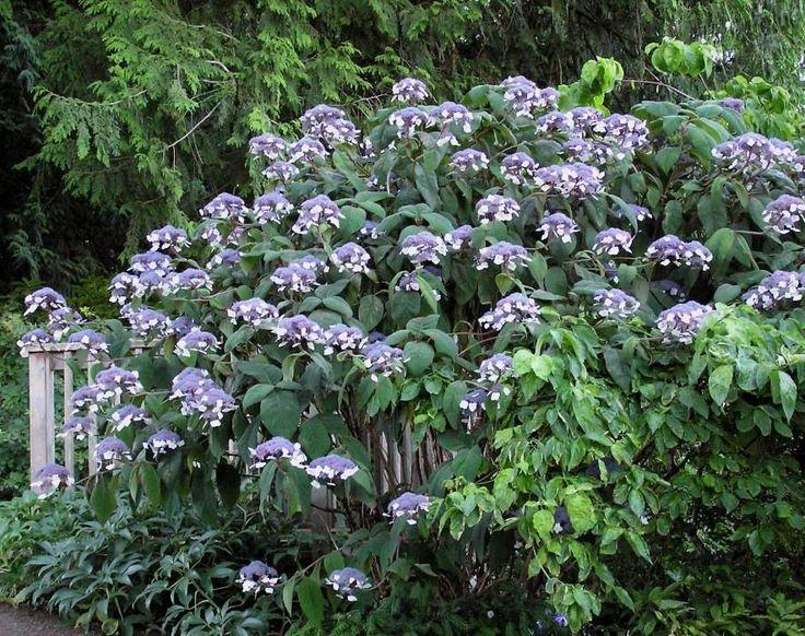 Hortensja kosmata MACROPHYLLA Hydrangea aspera /C3 - Internetowy sklep ogrodniczy