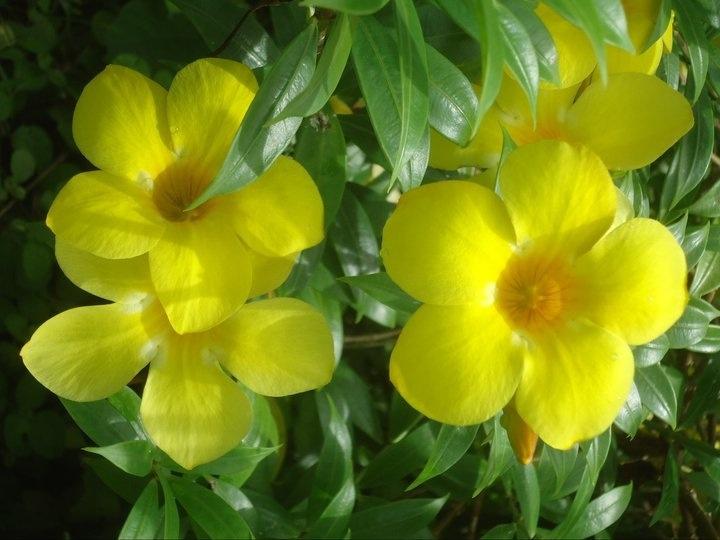 18 best perseverance drive a bajan garden images on pinterest bajan flower mightylinksfo