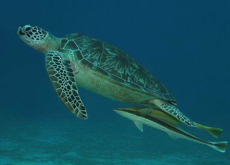 Sea Turtle.: Green Sea, Sea Ocean, Tropical Vacations, Scubas Diving Ne, Scuba Diving, Sea Animal, Turtles, Ocean Brittney, Turtle08 Jpg 980 705
