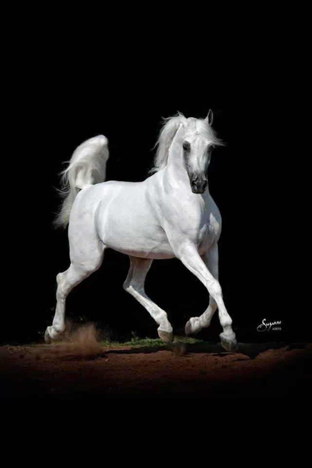Painting of an Arabian Stallion