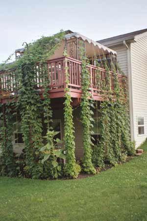 8 Best Home Brew Hop Garden Images On Pinterest Hops 640 x 480
