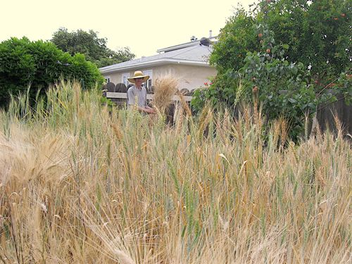 wheat hARvesT :: Grow Your Own!