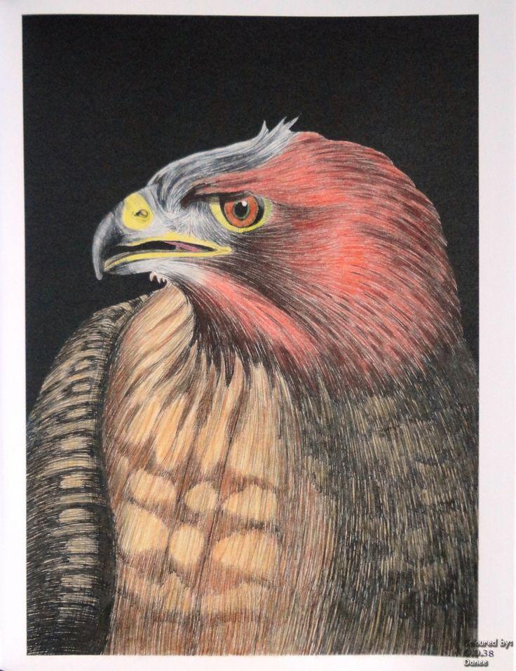 Tim Jeffs -  Intricate Ink Animals in Details volume 1 Red-Tailed Hawk  Coloured with Derwent Colorsoft