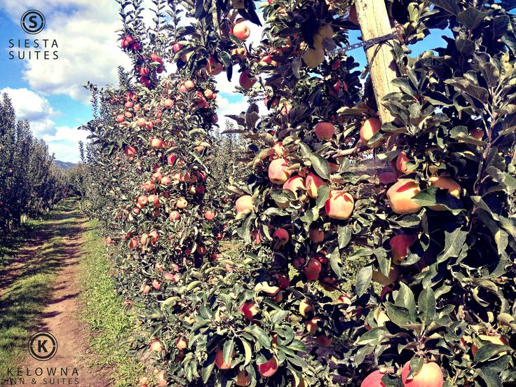 """Our Okanagan apples are all grown up and ready to see the world.  Only the best graduate off the tree and onto store shelves.  Come and enjoy them locally or look for them in your grocery store and enjoy some """"Okanagan"""" year-round with every bite.  #explorekelowna #appleseason #farmfresh"""