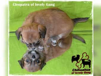 Süßes Chihuahua Mädchen ist auf der Sucht nach dem besten zu Hause auf LEBENSZEIT