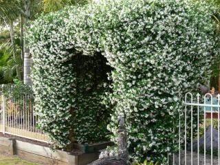 17 best ideas about trachelospermum jasminoides on. Black Bedroom Furniture Sets. Home Design Ideas