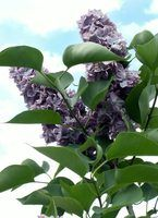A potassium bicarbonate solution can be used to treat powdery mildew on lilacs and other plants.