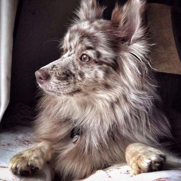 Thanks to our friends over at Pack for the shoutout! Join us and our supporters, like fluffy Shea the Australian Shepherd/Pomeranian Muttigree, and let's do some good this Thanksgiving!http://packdog.com/rescue/animalleague