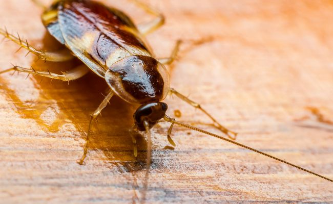 Could Cockroach Milk Be The Next Biggest Superfood? - http://nifyhealth.com/could-cockroach-milk-be-the-next-biggest-superfood/