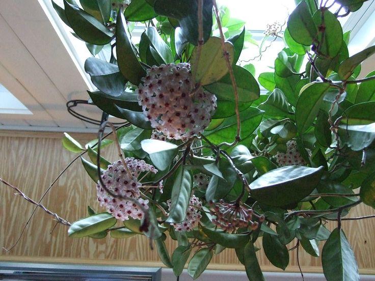 Hoya carnosa - Clepia