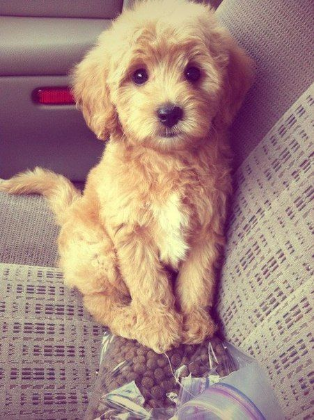 Maltipoo. I'm under his spell. Cutest puppy ever.