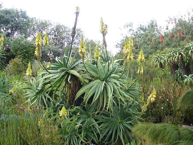 25+ Best Ideas About Aloe Pflanze On Pinterest | Zimmerpflanze ... Aloe Vera Pflanze Pflege Anwendung